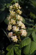 White chestnut bach flower remedies the white chestnut flower mightylinksfo